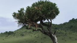 Zoom in of a lion sleeping on a tree like a leopard Footage