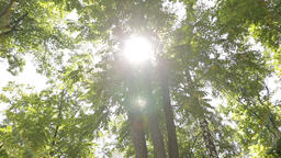 Sun lights up foliage at summer day in grove. Birch, acacia and other trees Footage