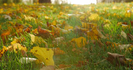 Autumn leaves on autumn grass Footage