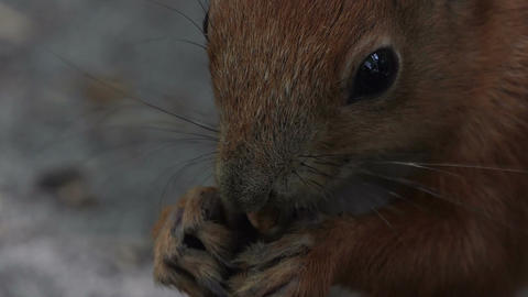 An orange squirrel eats cracked nuts from a land in a forest in summer Footage