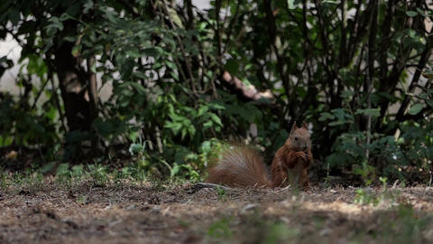 A squirrel with a fluffy tail eats nuts on a lawn in a forest in slo-mo Footage
