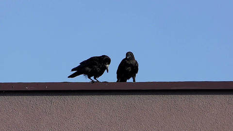 Two crows sit on a roof and clean their beaks on a sunny day in slo-mo Footage