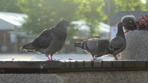 Grey doves sit and walk on a concrete plate of some fence in slo-mo Footage
