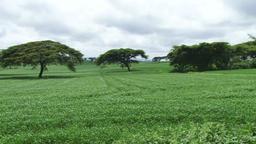 A field of wheat in rift valley Kenya Footage