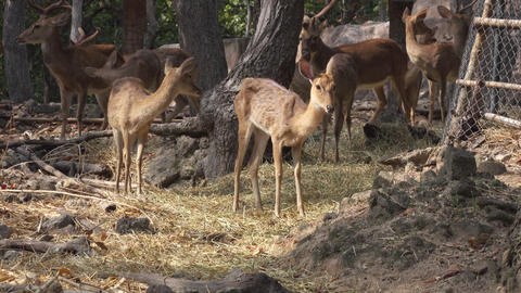 medium shot of a deer staying still at the zoo Footage