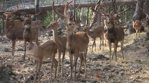 group of a deers at the zoo Footage
