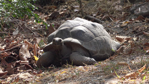 medium shot of a huge turtle moving his head Footage