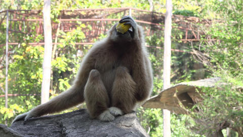 a white handed gibbon siting and eating corn Footage
