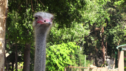 close up video of ostrich Footage
