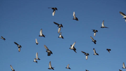 pigeon flock in the sky Live Action