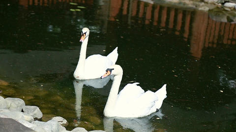 swan swimming in the lake Ukraine Footage