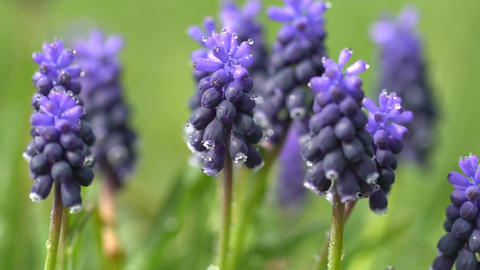 Hyacinth flowers in dew drops on a background of green grass Footage