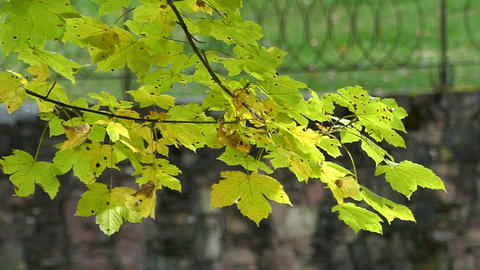 A yellow and green branch of a maple sways in a park in autumn in slo-mo Footage