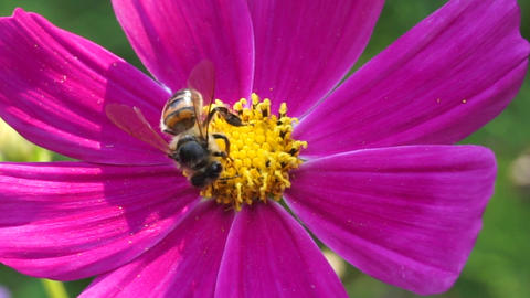 Honey bee on pink flower Footage