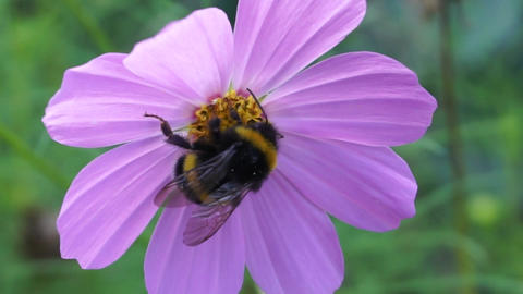 Bumblebee on pale pink flower Footage