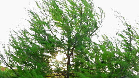 Sort of pine tree moving in strong wind with sun shining throug branches. Shot Footage