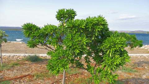 Young mediteranean bushee tree growing at se shore moving in strong wind. In Footage