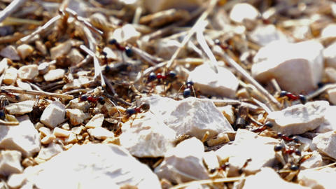 Ants working together carrying materials in anthill on sunny day in super macro Footage