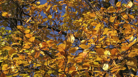 Trees with color leaves in autumn Footage