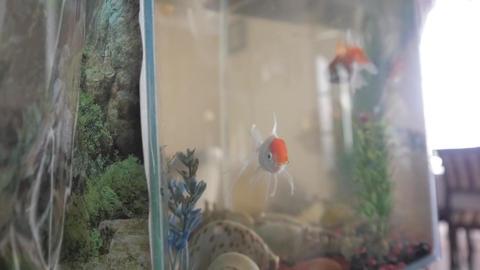 Close-up of gold crucians in the aquarium Footage