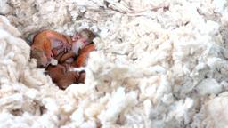 Squirrels sleep in the nest Footage