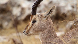 Israeli mountain gazelle in the rain Footage