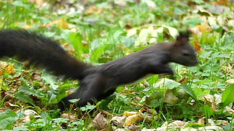 A black squirrel jumps on a green lawn and seeks food in slo-mo Footage
