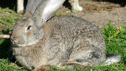 A gray rabbit sits on a green lawn in autumn in slo-mo Footage