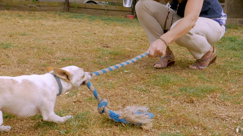 Woman dog owner playing with her purebred chihuahua dog with a rope toy outdoors Footage