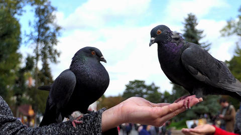 Two doves sit on a hand of a woman with grain in slo-mo Footage