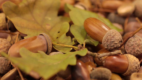 Close-up of the rotation of oak acorns and leaf Footage