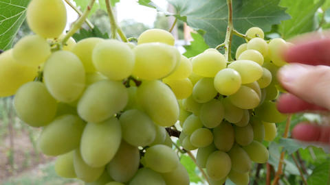 Farmer's Hand Grabs Bunch of White Grapes Footage