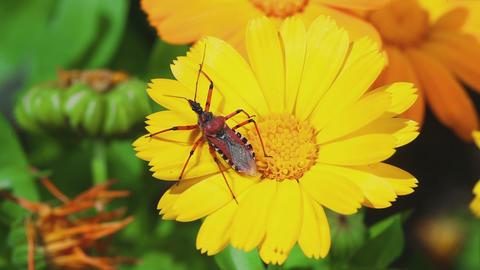 Assassin bug Rhynocoris iracundus Footage