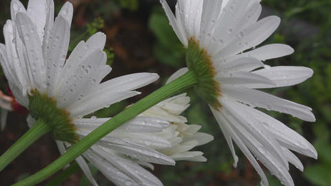 Big white camomile closeup Footage
