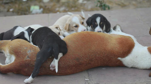 Female dog feeding her cubs Footage