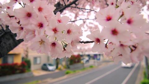 Sakura3 Footage