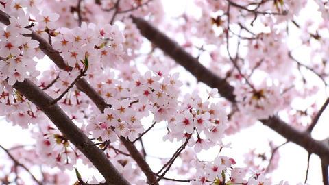 Sakura5 Footage