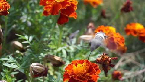 Hummingbird hawk-moth close up Footage