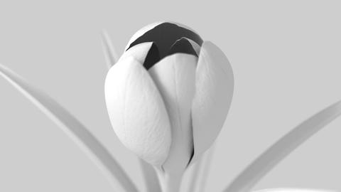 White Crocus Flower Blooming On White Background Animation
