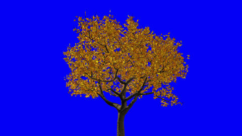Leaves Appear On The Tree, They Turn Yellow And Then Fall Off. Blue Screen Animation