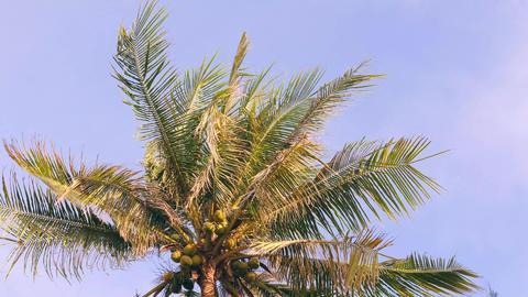 Coconut Palm Tree on Blue Sky. Paradise Tropical Island Background. 4K Footage