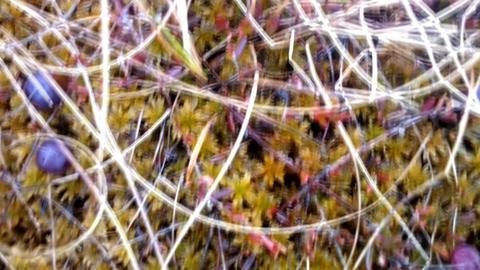 cranberries in swamp Footage
