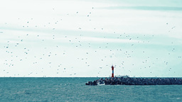 Large flock of seagulls flying in the sky next to the lighthouse set on the brea Footage