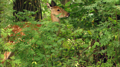 Wild Deer Looks Up In The Wood stock footage