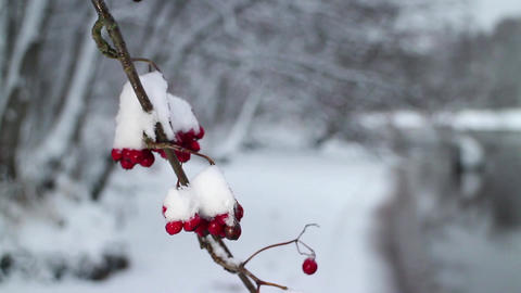 Red berries of mountain ash covered with snow Footage