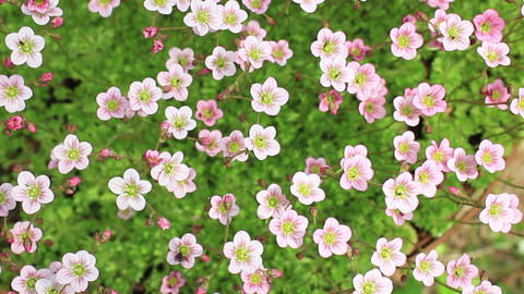 pink flowers swaying floral background Footage