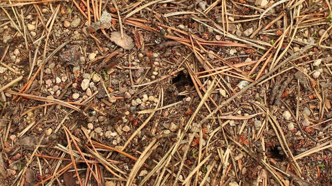 red forest ants build an anthill Footage