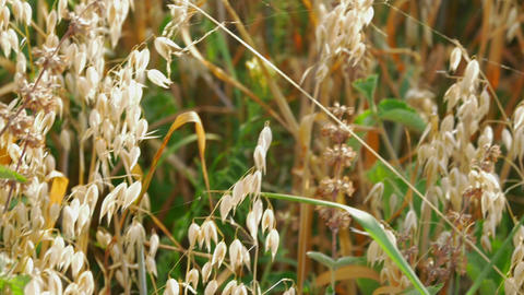 ripe oats field close-up in slow-motion Footage