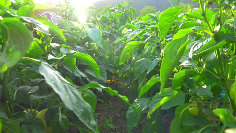 going through yellow peppers plants with sun shining through green leafes making Footage