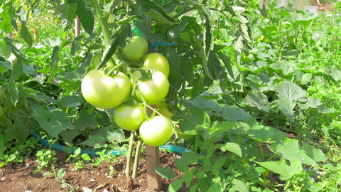 going beside unripe green tomatos on beautifull suny day in slow-motion hd Footage
